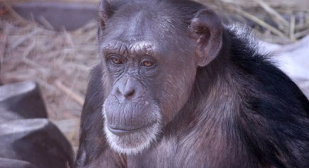 Wanna Volunteer at the Galarama & Silent Auction for Chimp Sanctuary NW? Details Inside.